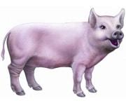 Фуражи за прасета и свине