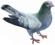 Фуражи за гълъби и спортни гълъби